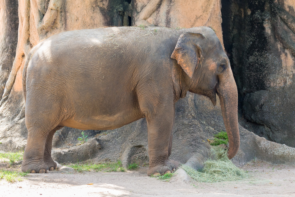 MIAMI,USA - SEPTEMBER 2, 2014 : Asian elephant at the Miami MetroZoo